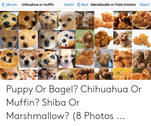 Albums Select Back Labradoodle Or Fried Chicken Chihuahua