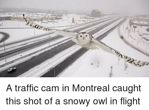Traffic, Flight, and Montreal: <p>A traffic cam in Montreal caught this shot of a snowy owl in flight</p>