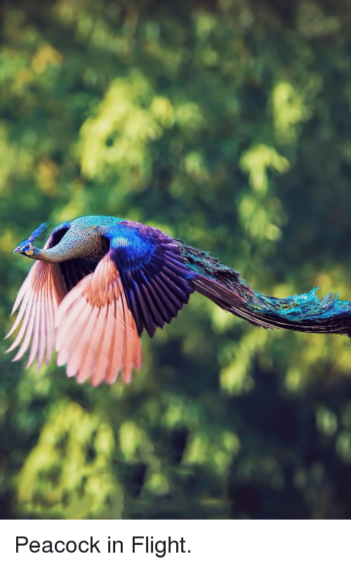Flight, Peacock, and In Flight: <p>Peacock in Flight.</p>