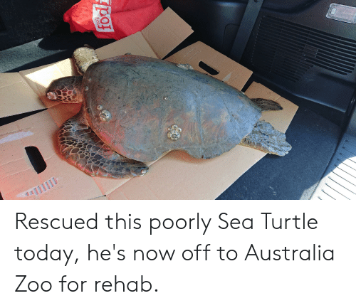 Australia, Today, and Turtle: Пь  dns  fod  Aust Rescued this poorly Sea Turtle today, he's now off to Australia Zoo for rehab.