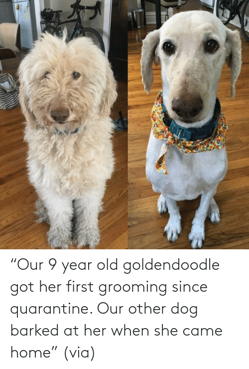 """Aww, Reddit, and Target: """"Our 9 year old goldendoodle got her first grooming since quarantine. Our other dog barked at her when she came home""""(via)"""