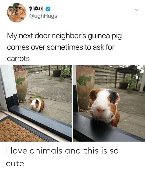 Animals, Cute, and Love: 현춘01 *  @ughHugs  My next door neighbor's guinea pig  comes over sometimes to ask for  carrots I love animals and this is so cute