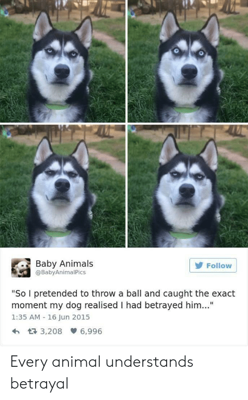 """Animals, Animal, and Baby: 0  Baby Animals  @BabyAnimalPics  Follow  """"So I pretended to throw a ball and caught the exact  moment my dog realised I had betrayed him..""""  1:35 AM 16 Jun 2015  h 3,208 6,996 Every animal understands betrayal"""