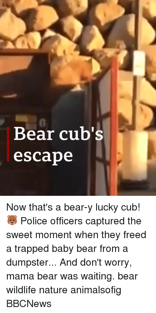 Memes, Police, and Bear: 0  Bear cub's  escabe Now that's a bear-y lucky cub! 🐻 Police officers captured the sweet moment when they freed a trapped baby bear from a dumpster... And don't worry, mama bear was waiting. bear wildlife nature animalsofig BBCNews