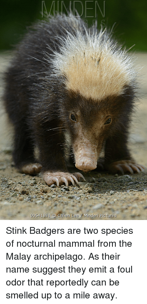 00 1 Chien Lee Minden Picture Stink Badgers Are Two Species