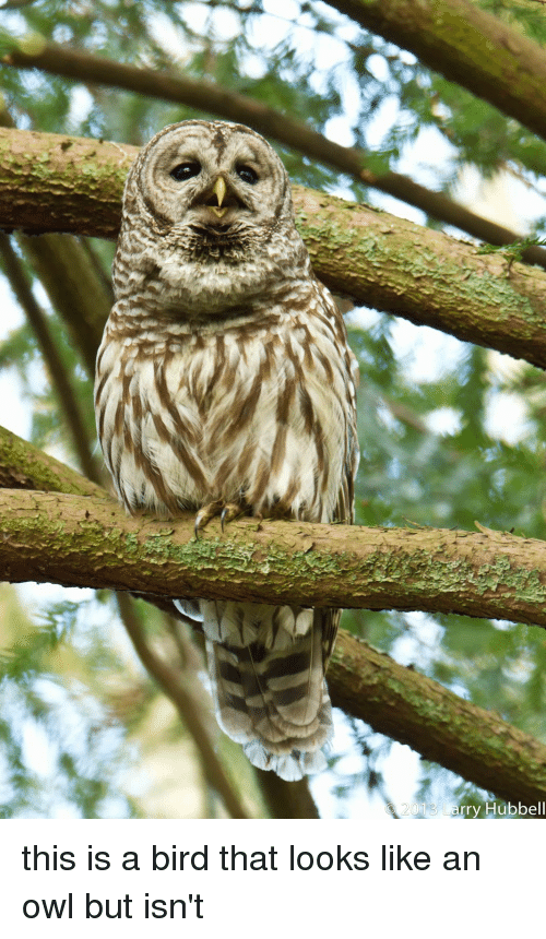 Funny, Owl, and Owls: 01 Larry Hubbell this is a bird that looks like an owl but isn't
