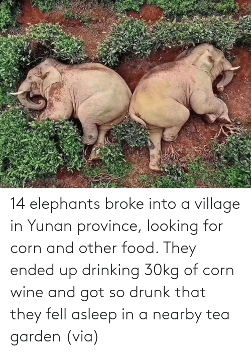 Aww, Drinking, and Drunk: 14 elephants broke into a village in Yunan province, looking for corn and other food. They ended up drinking 30kg of corn wine and got so drunk that they fell asleep in a nearby tea garden(via)