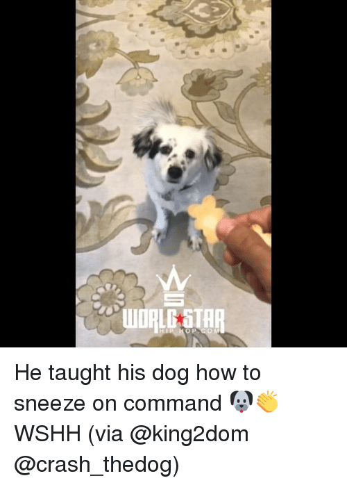 Memes, Wshh, and How To: 2  AT He taught his dog how to sneeze on command 🐶👏 WSHH (via @king2dom @crash_thedog)