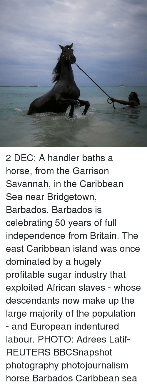 Horses, Memes, and Horse: 2 DEC: A handler baths a horse, from the Garrison Savannah, in the Caribbean Sea near Bridgetown, Barbados. Barbados is celebrating 50 years of full independence from Britain. The east Caribbean island was once dominated by a hugely profitable sugar industry that exploited African slaves - whose descendants now make up the large majority of the population - and European indentured labour. PHOTO: Adrees Latif- REUTERS BBCSnapshot photography photojournalism horse Barbados Caribbean sea