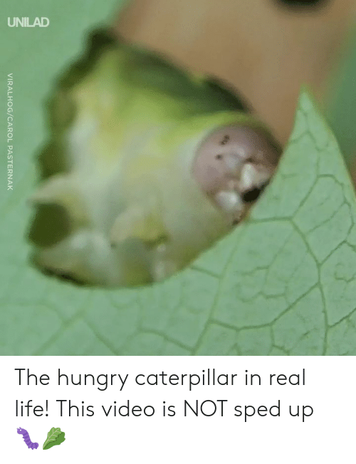 Dank, Hungry, and Life: 2  VIRALHOG/CAROL PASTERNAK The hungry caterpillar in real life! This video is NOT sped up 🐛🥬
