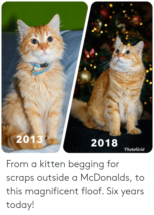 McDonalds, Today, and Magnificent: 2013  2018  PhotoGrid From a kitten begging for scraps outside a McDonalds, to this magnificent floof. Six years today!