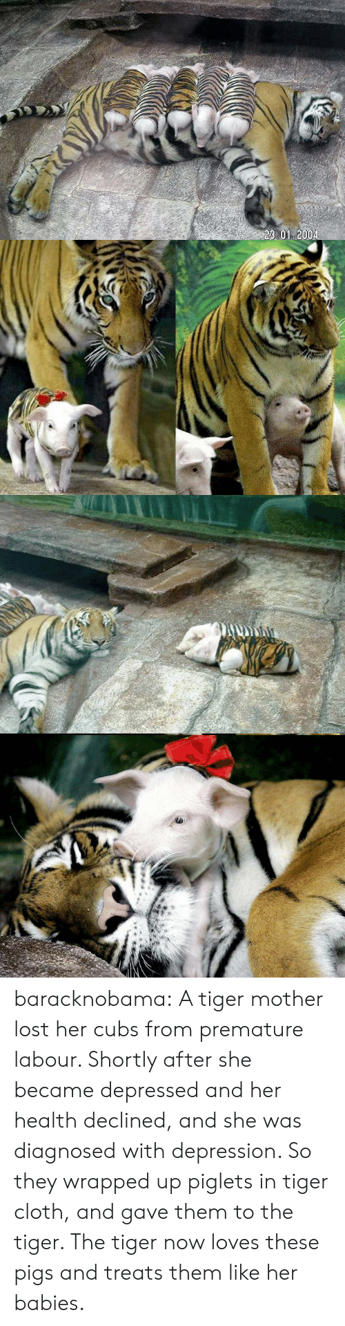 Tumblr, Lost, and Blog: 23 01 2004 baracknobama: A tiger mother lost her cubs from premature labour. Shortly after she became depressed and her health declined, and she was diagnosed with depression. So they wrapped up piglets in tiger cloth, and gave them to the tiger. The tiger now loves these pigs and treats them like her babies.