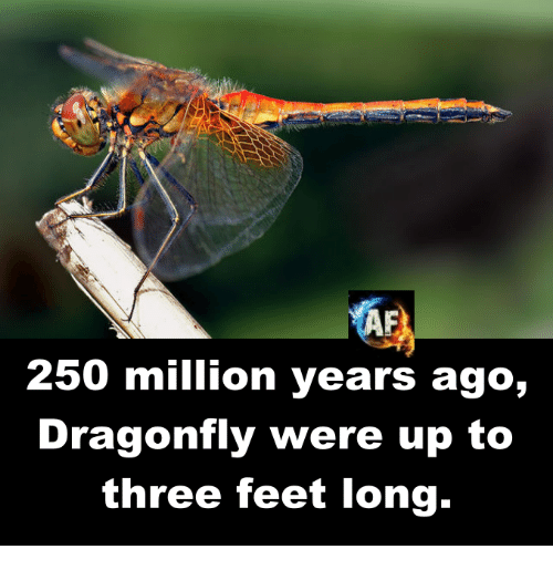 Memes, 🤖, and Feet: 250 million years ago,  Dragonfly were up to  three feet long.