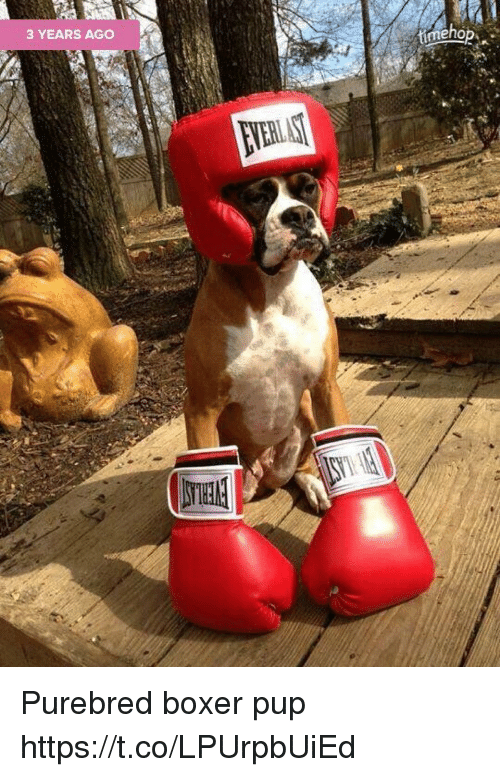 Memes, Boxer, and Pup: 3 YEARS AGC  eho Purebred boxer pup https://t.co/LPUrpbUiEd
