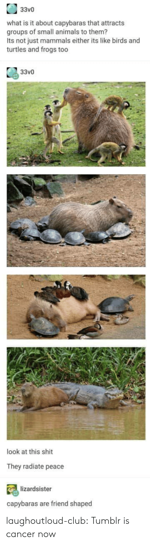 Animals, Club, and Shit: 33v0  what is it about capybaras that attracts  groups of small animals to them?  Its not just mammals either its like birds and  turtles and frogs too  33vO  look at this shit  They radiate peace  lizardsister  capybaras are friend shaped laughoutloud-club:  Tumblr is cancer now