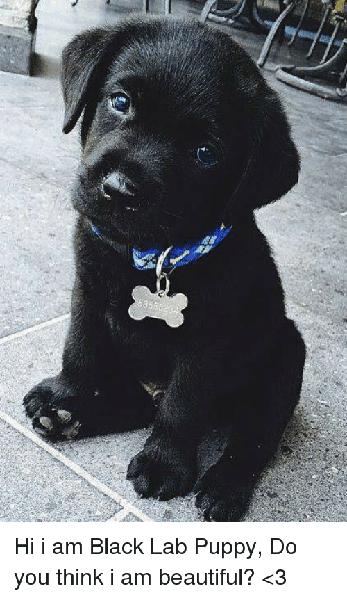 Beautiful Memes And Black 356 Hi I Am Black Lab Puppy Do