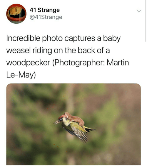 Martin, Baby, and Back: 41 Strange  @41Strange  Incredible photo captures a baby  weasel riding on the back of a  woodpecker (Photographer: Martin  Le-May)