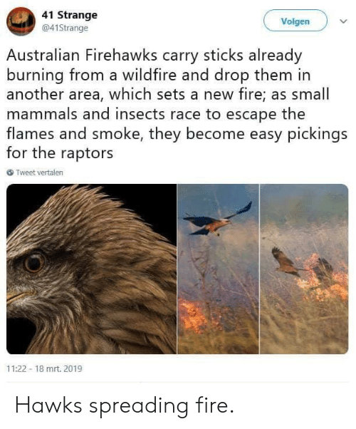Fire, Hawks, and Race: 41 Strange  @41Strange  Volgen  Australian Firehawks carry sticks already  burning from a wildfire and drop them in  another area, which sets a new fire; as small  mammals and insects race to escape the  flames and smoke, they become easy pickings  for the raptors  6 Tweet vertalen  11:22 18 mrt. 2019 Hawks spreading fire.
