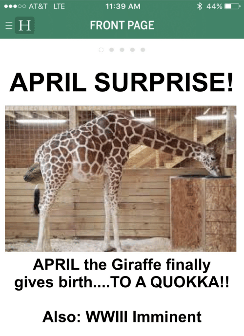 At&t, Giraffe, and April: 44%  OO AT&T LTE  11:39 AM  FRONT PAGE  APRIL SURPRISE!  APRIL the Giraffe finally  gives birth... TO A QUOKKA!!  Also: WWIII imminent