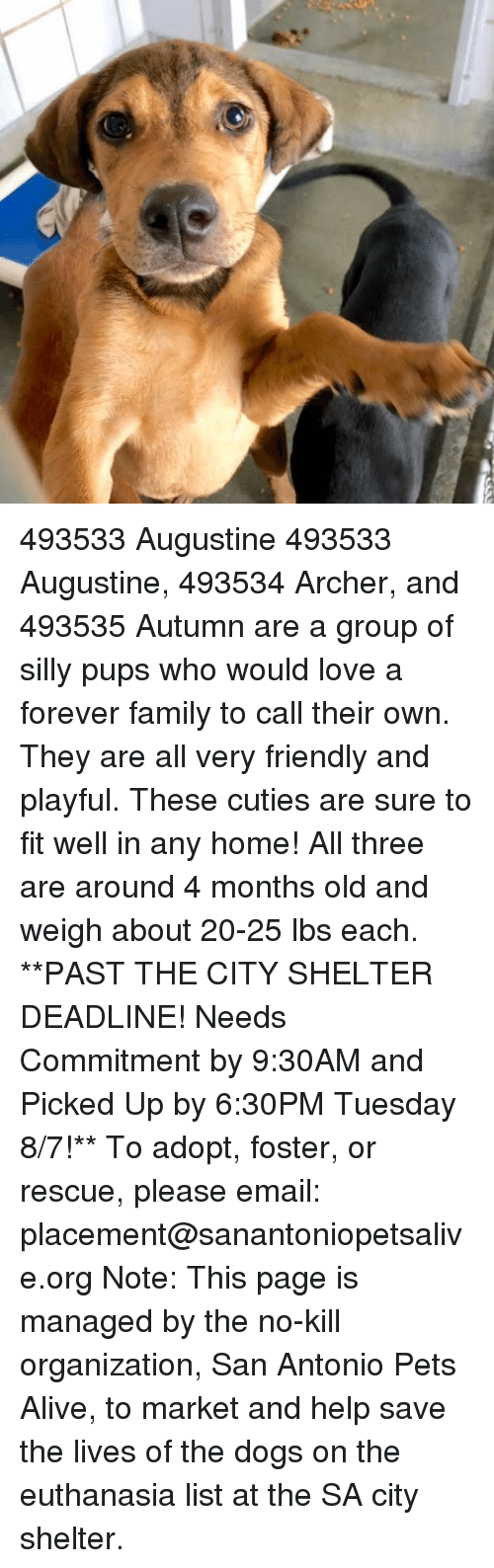 Alive, Dogs, and Family: 493533 Augustine  493533 Augustine, 493534 Archer, and 493535 Autumn are a group of silly pups who would love a forever family to call their own. They are all very friendly and playful. These cuties are sure to fit well in any home! All three are around 4 months old and weigh about 20-25 lbs each.  **PAST THE CITY SHELTER DEADLINE! Needs Commitment by 9:30AM and Picked Up by 6:30PM Tuesday 8/7!** To adopt, foster, or rescue, please email: placement@sanantoniopetsalive.org Note: This page is managed by the no-kill organization, San Antonio Pets Alive, to market and help save the lives of the dogs on the euthanasia list at the SA city shelter.