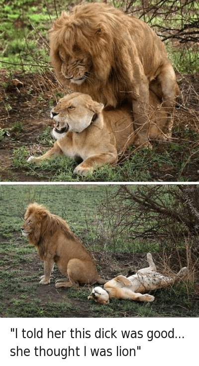 How big is a lions penis