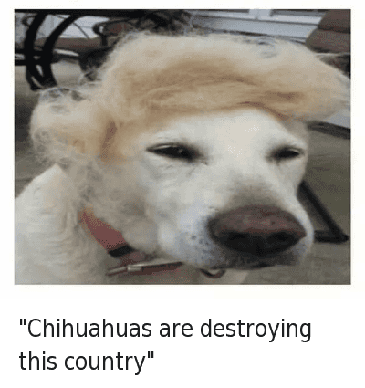 crying chihuahua meme chihuahuas are destroying this country chihuahuas are 7618