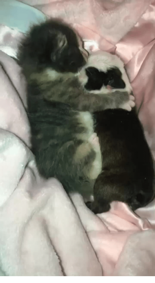 Puppy, Old, and Kitten: 7-day old kitten snuggles with a 5-day old puppy.