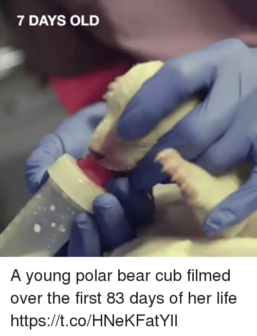 Life, Memes, and Bear: 7 DAYS OLD A young polar bear cub filmed over the first 83 days of her life  https://t.co/HNeKFatYlI