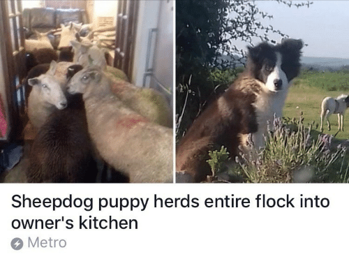Metro, Puppy, and Kitchen: 7  Sheepdog puppy herds entire flock into  owner's kitchen  Metro