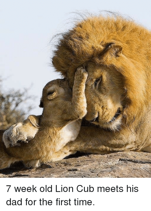 Memes, Cubs, and 🤖: 7 week old Lion Cub meets his dad for the first time.
