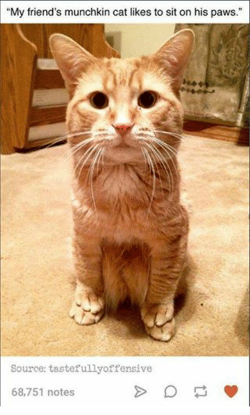 My Friend\'s Munchkin Cat Likes to Sit on His Paws Source Tastefully ...