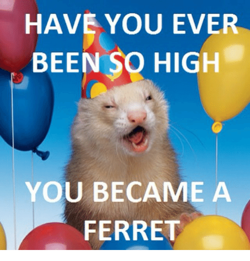 Funny, Ferret, and Been: HAVE YOU EVER  BEEN SO HIGH  YOU BECAME A  FERRET