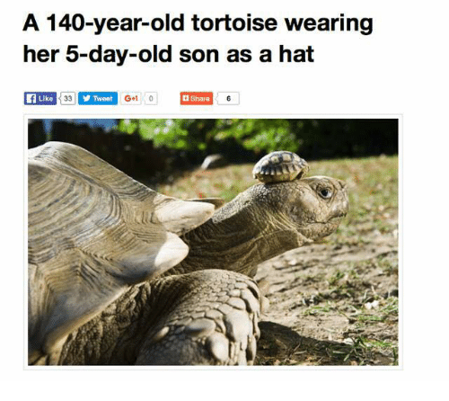 Old, Her, and Tortoise: A 140-year-old tortoise wearing  her 5-day-old son as a hat  Like  Tweet  G+1 0  Share