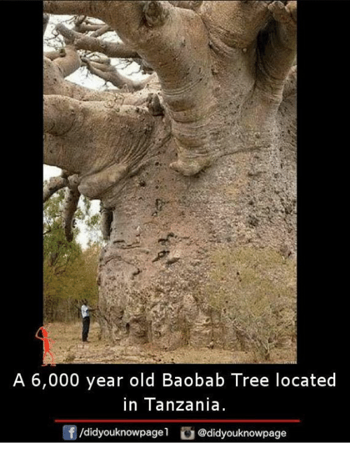 Memes, Tree, and Old: A 6,000 year old Baobab Tree located  in Tanzania  f/didyouknowpagel@didyouknowpage