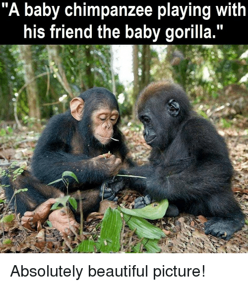 A Baby Chimpanzee Playing With His Friend the Baby Gorilla