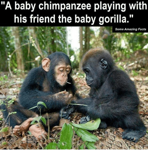 "Facts, Memes, and Amazing: ""A baby chimpanzee playing with  his friend the baby gorilla.""  Some Amazing Facts"