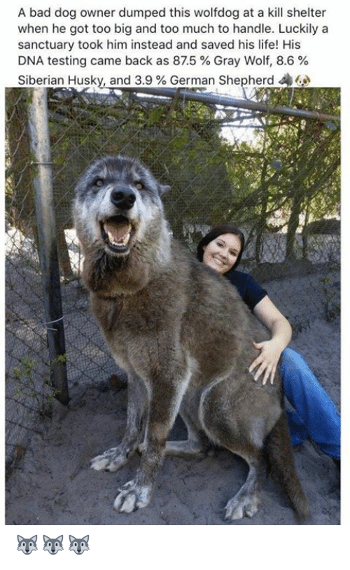 Bad, Life, and Memes: A bad dog owner dumped this wolfdog at a kill shelter  when he got too big and too much to handle. Luckily a  sanctuary took him instead and saved his life! His  DNA testing came back as 875 % Gray Wolf, 8.6 %  Siberian Husky, and 3.9 % German Shepherd 44 🐺🐺🐺