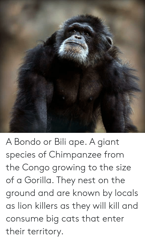 A Bondo or Bili Ape a Giant Species of Chimpanzee From the
