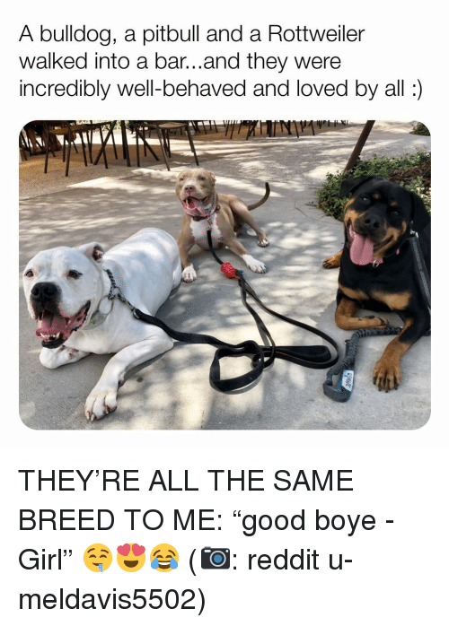 """Memes, Reddit, and Pitbull: A bulldog, a pitbull and a Rottweiler  walked into a bar...and they were  incredibly well-behaved and loved by all: THEY'RE ALL THE SAME BREED TO ME: """"good boye - Girl"""" 🤤😍😂 (📷: reddit u-meldavis5502)"""