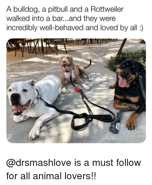 Memes, Pitbull, and Animal: A bulldog, a pitbull and a Rottweiler  walked into a bar...and they were  incredibly well-behaved and loved by all: @drsmashlove is a must follow for all animal lovers!!