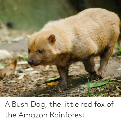 Amazon, Fox, and Dog: A Bush Dog, the little red fox of the Amazon Rainforest