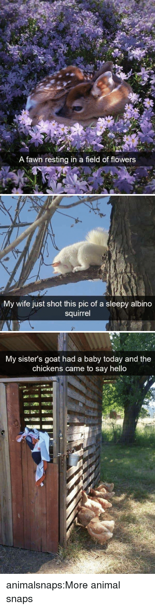 Hello, Target, and Tumblr: A fawn resting in a field of flowers   My wife just shot this pic of a sleepy albino  squirrel   My sister's goat had a baby today and the  chickens came to say hello  13 animalsnaps:More animal snaps