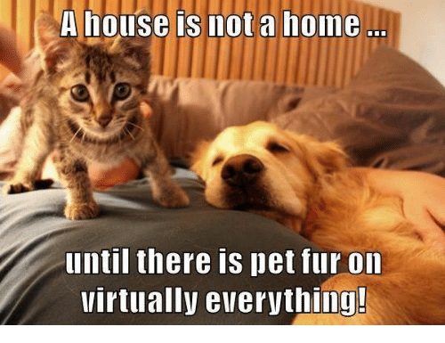 Memes, Home, and House: A house is mot a home  until there is pet fur on  Virtually everything