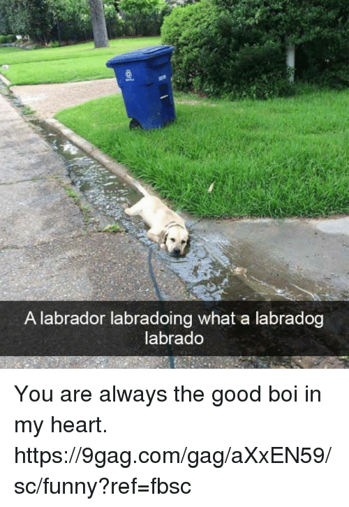 9gag, Dank, and Funny: A labrador labradoing what a labradog  labrado You are always the good boi in my heart. https://9gag.com/gag/aXxEN59/sc/funny?ref=fbsc
