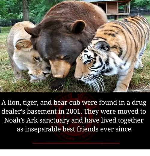 lion-tiger-and-bear