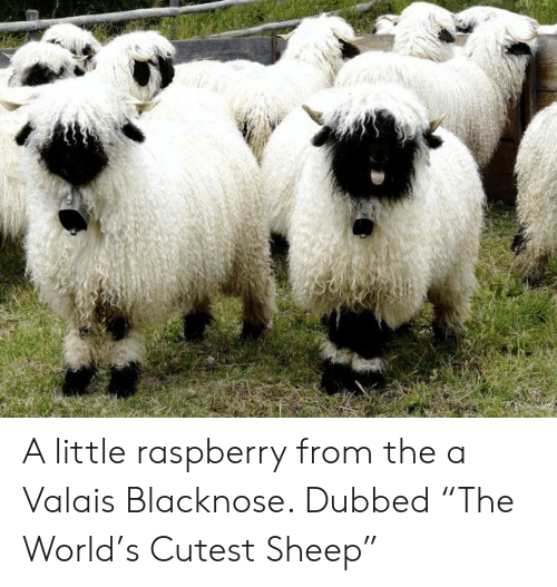 A Little Raspberry From The A Valais Blacknose Dubbed The
