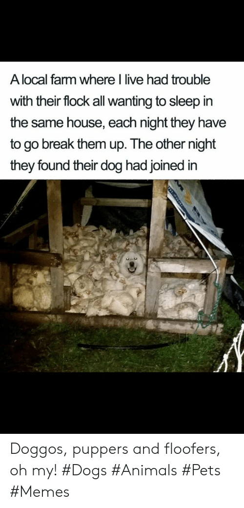 Animals, Dogs, and Memes: A local farm where I live had trouble  with their flock all wanting to sleep in  the same house, each night they have  to go break them up. The other night  they found their dog had joined in  m.eon Doggos, puppers and floofers, oh my! #Dogs #Animals #Pets #Memes