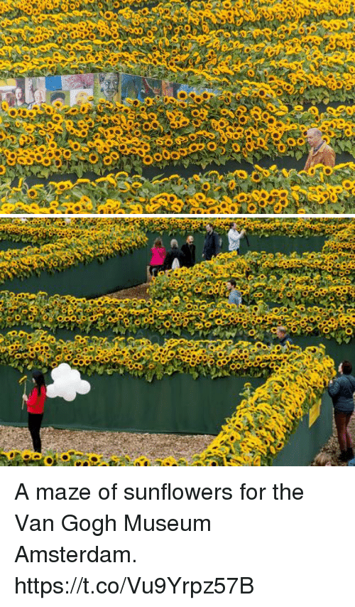 Funny Amsterdam And Van Gogh A Maze Of Sunflowers For The