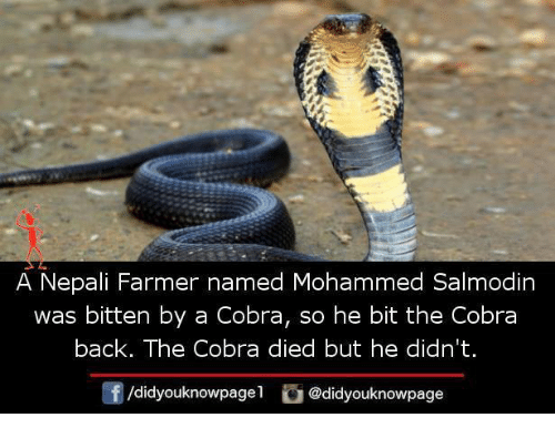 Memes, Nepali, and Back: A Nepali Farmer named Mohammed Salmodin  was bitten by a Cobra, so he bit the Cobra  back. The Cobra died but he didn't.  @didyouknowpage