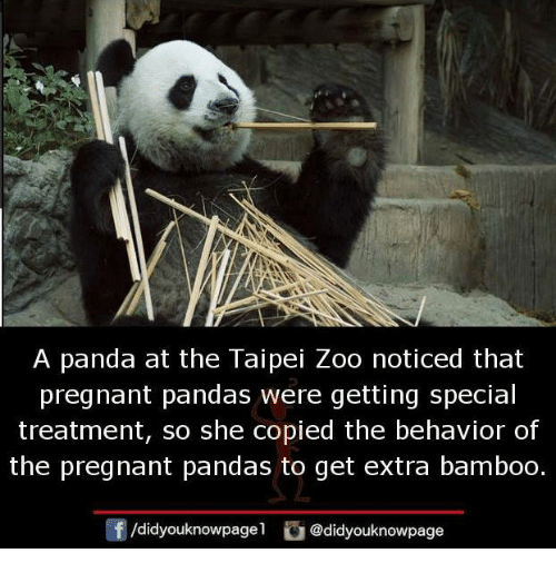 Memes, Pregnant, and Panda: A panda at the Taipei Zoo noticed that  pregnant pandas were getting special  treatment, so she copied the behavior of  the pregnant pandas to get extra bamboo.  /didyouknowpagel  irea @didyouknowpage